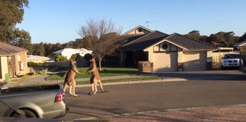Dos canguros se pelean en Australia
