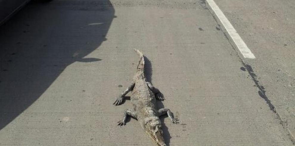 Caimán detiene el tráfico en Albrook