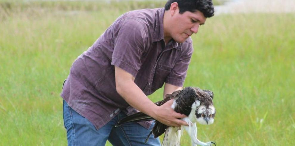 Un águila pescadora para en Panamá
