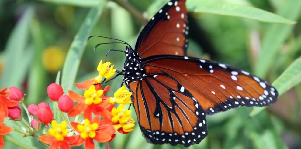 Pérdida de hábitat amenaza a mariposas monarca