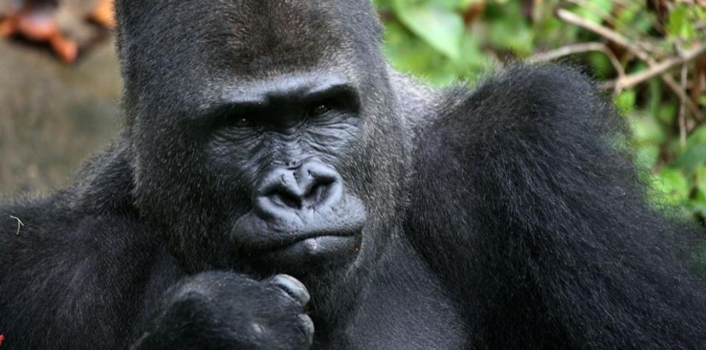 Zoológico de Londres celebra los 40 años la gorila Zaire