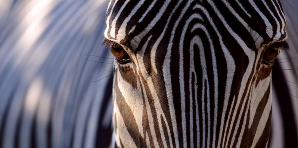¿Por qué el blanco y negro de las cebras?