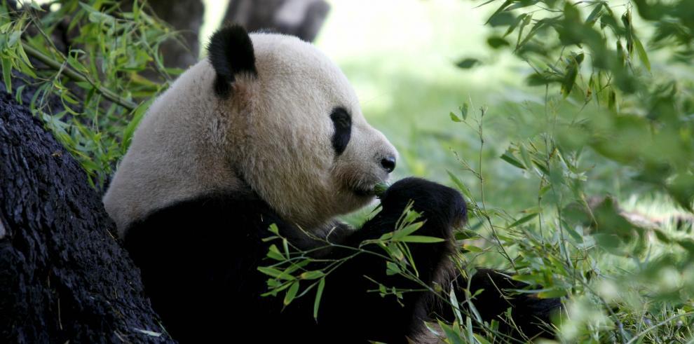 Autoridades chinas prohíben usar osos panda como adivinos en el Mundial