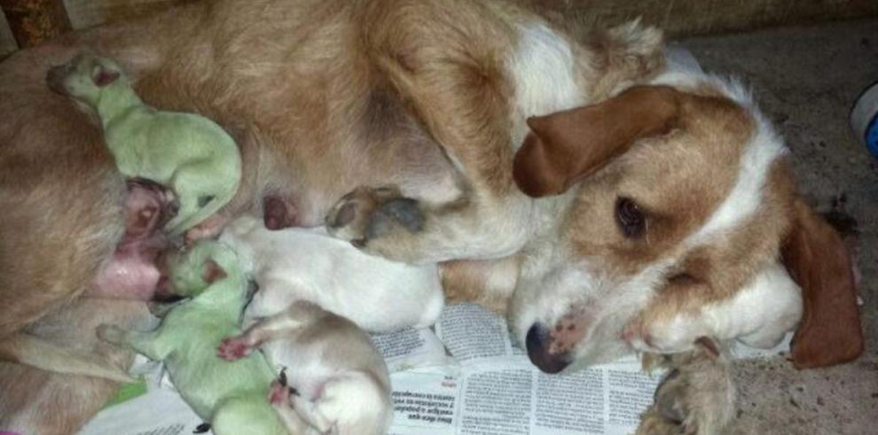 Nacen dos perros con pelaje de color verde, en España