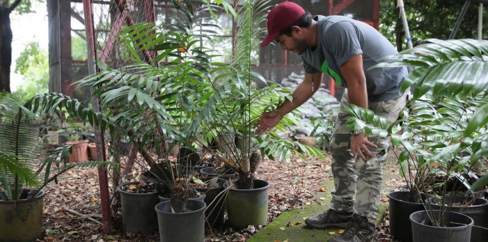 Zamias panameñas, plantas primitivas