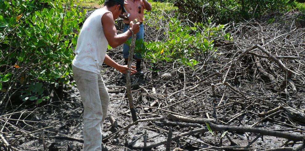 Regularán uso de manglares