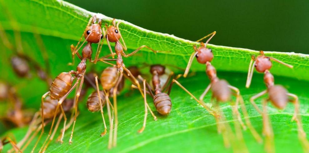 Hormigas, frágiles al calor