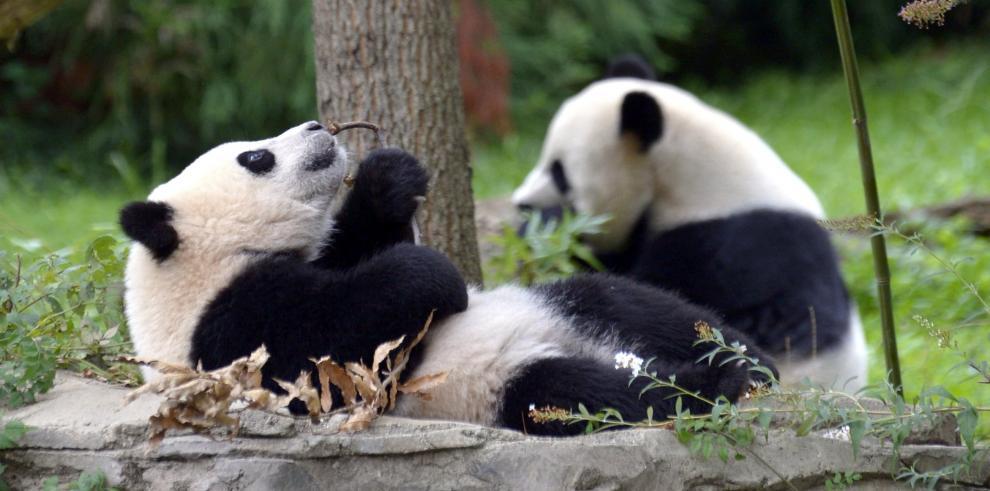 El primer cumpleaños de Bao Bao, la panda más querida