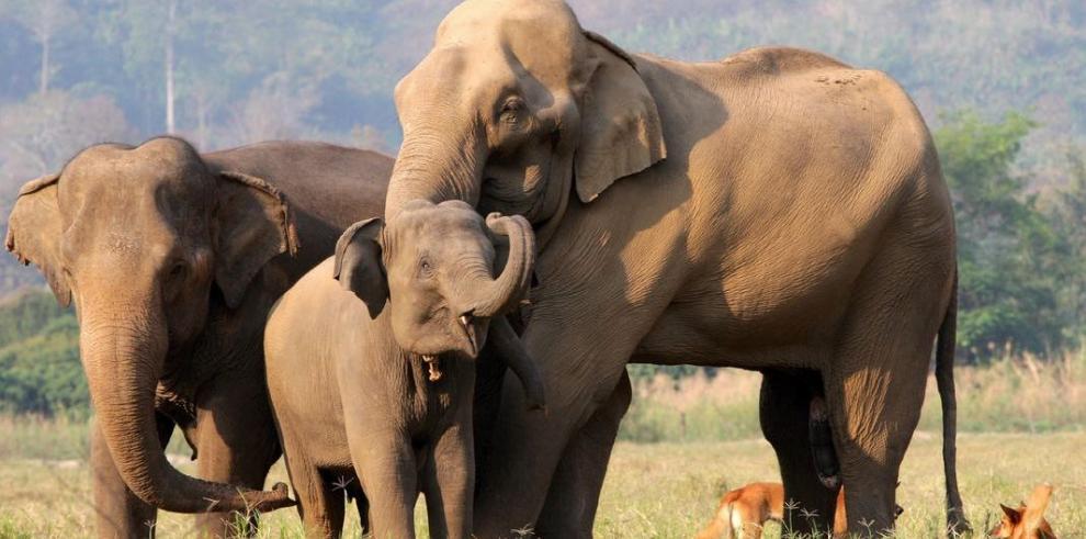 Caza furtiva pone en peligro a los elefantes