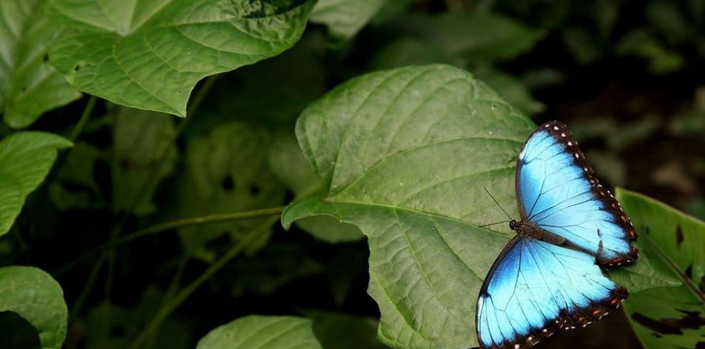 En Panamá se reproducen mariposas nativas y migratorias