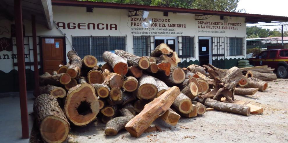 Investigan tala ilegal de cocobolo en Coclé