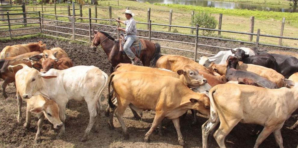 Ticos devuelven a Panamá reses