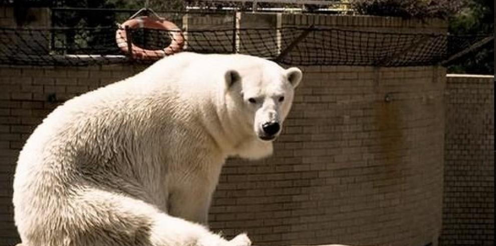 Murió Wang, el último oso polar en África