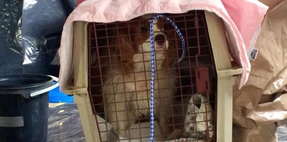 Buscan rastros de ébola en el perro de una enfermera contagiada en EE.UU.