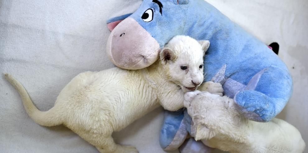 Nacen dos cachorros de subespecie rara del león africano