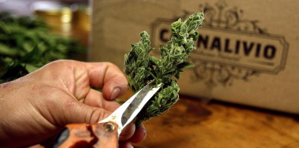 Planta de cannabis, marihuana, kenke