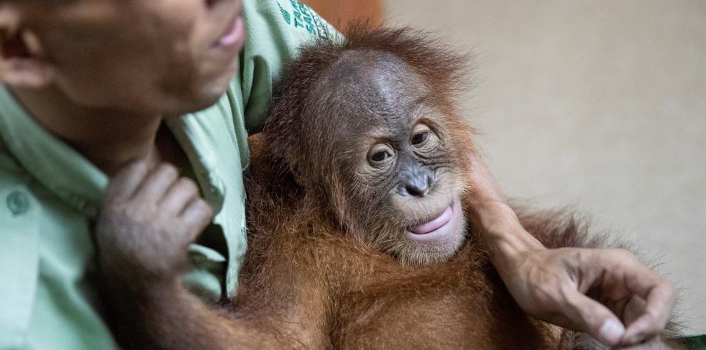 Bonbón, el orangután hallado en una maleta en Bali, regresa a su isla natal