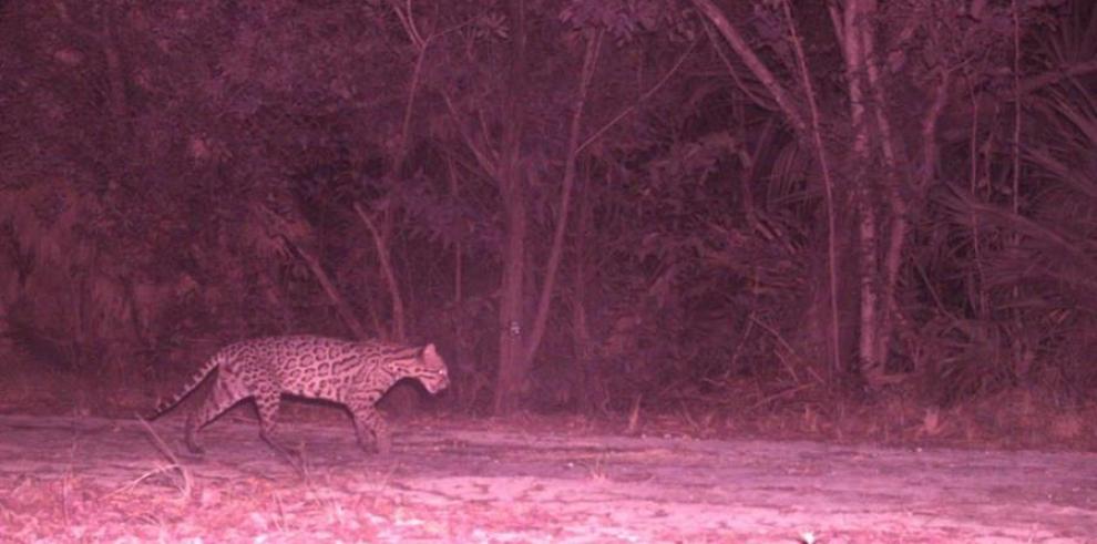 Imagen del fototrampeo que ha permitido la observación de ocelotes y jaguares en la zona de Cancún (México).