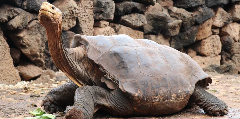 Diego, la tortuga que tuvo 800 crías y ayudó a salvar su especie en Galápagos