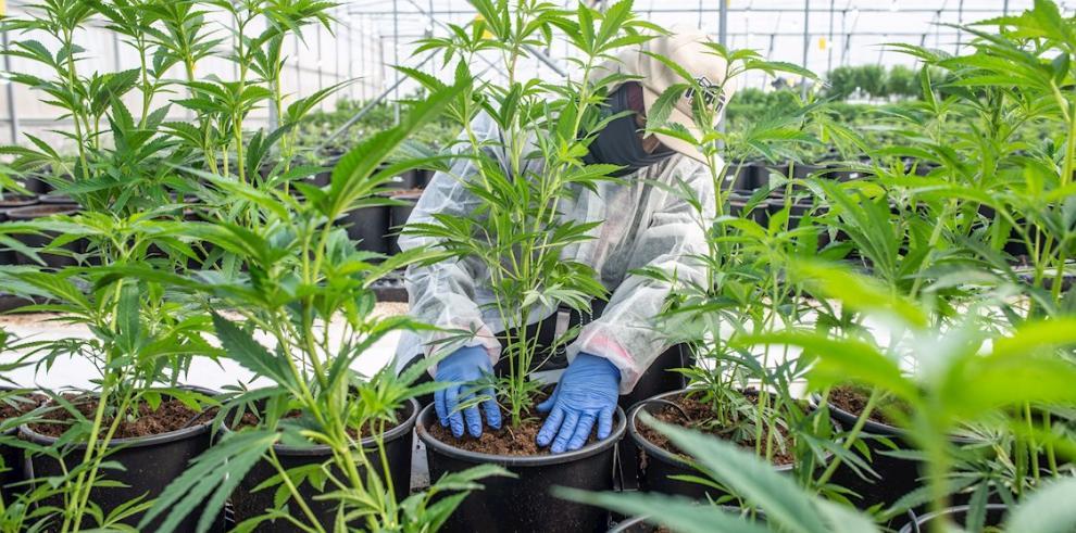 Las cifras de este mercado son optimistas toda vez que un estudio de Euromonitor International del año pasado indicó que el mercado legal de cannabis del mundo, estimado en 12.000 millones de dólares en 2018, llegará a 166.000 millones de dólares en 2025.