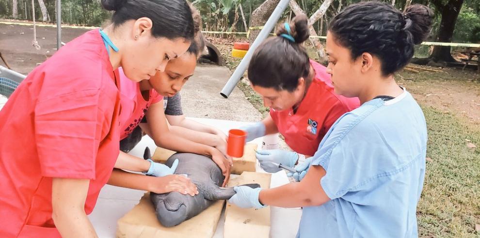 Moana la manatí de 1 mes  que fue rescatada en San Lorenzo, Colón.