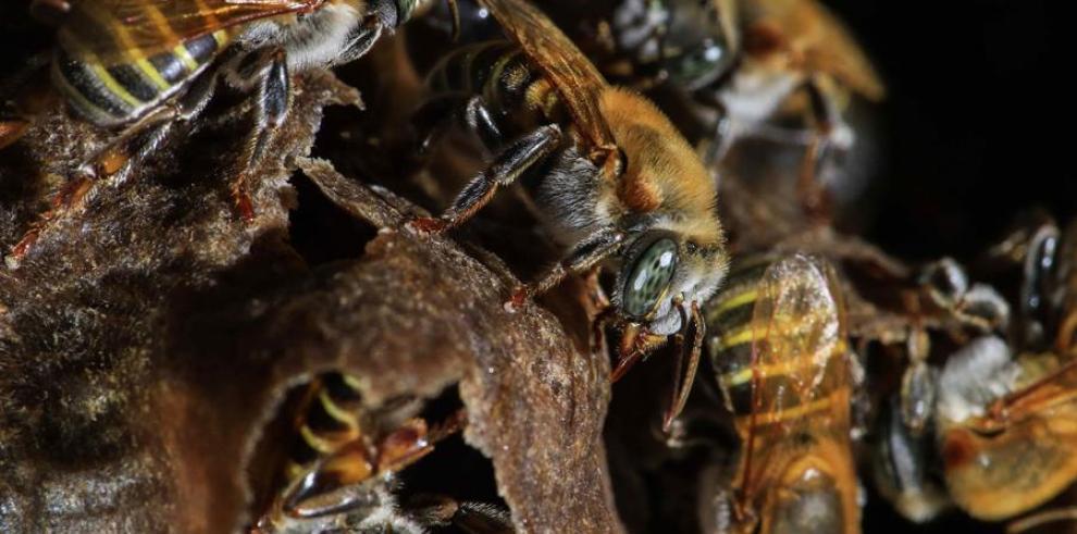 Registro de varias abejas sin aguijón en su colmena, en San José