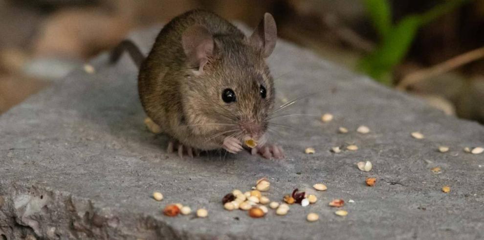 Ratón, hantavirus