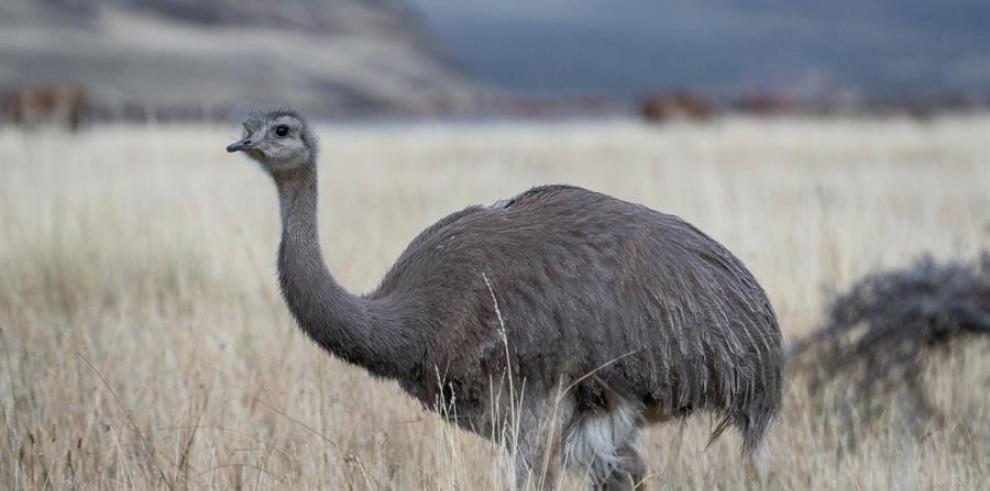 Un total de 14 ejemplares de ñandú, un ave autóctona de la Patagonia chilena similar a una avestruz y que se encuentra en peligro de extinción, fueron liberadas en un parque nacional del sur del país, informó este lunes la Fundación Tompkins Conservation.