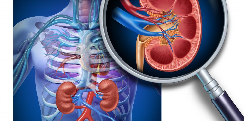 Los riñones ayudan a filtrar la sangre y extraen las sustancias tóxicas del organismo.