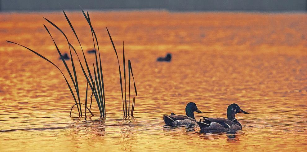 Los patos del lago Gilfra