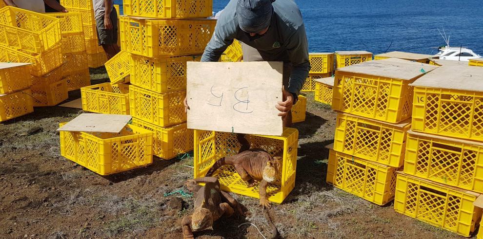 Reinserción de 461 iguanas terrestres, en la isla Santiago