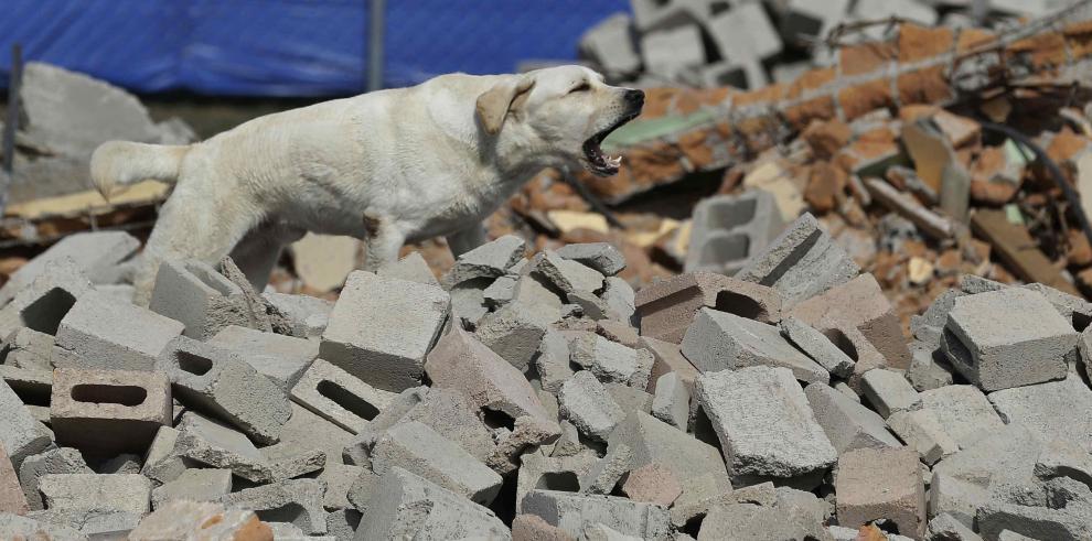 Un perro entrenado bajo el método Arcón, detecta una persona durante un simulacro de detección de personas