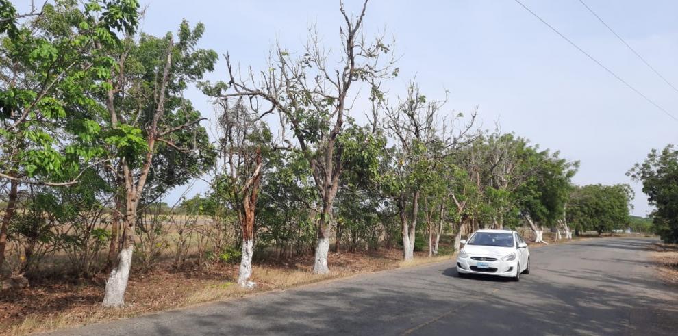 """Tala indiscriminada de árboles en la  vía de """"Paseo Blanca Mejía"""", en Guararé, provincia de Los Santos."""
