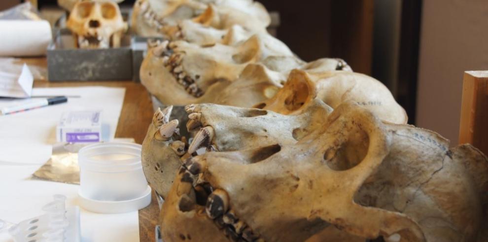 Especímenes de gorila de Grauer en el Museo Real de África Central