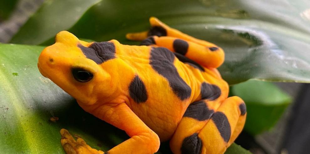 Golden Frog en cautiverio en la Fundación de Rescate y Conservación de Anfibios El Valle