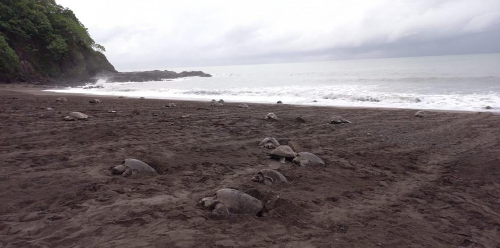 Miles de tortugas lora vienen a desovar en la reserva Playa la Marinera.