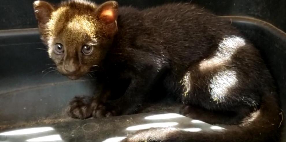 Imagen ilustrativa de un yaguarundi (Puma yagouaroundi).