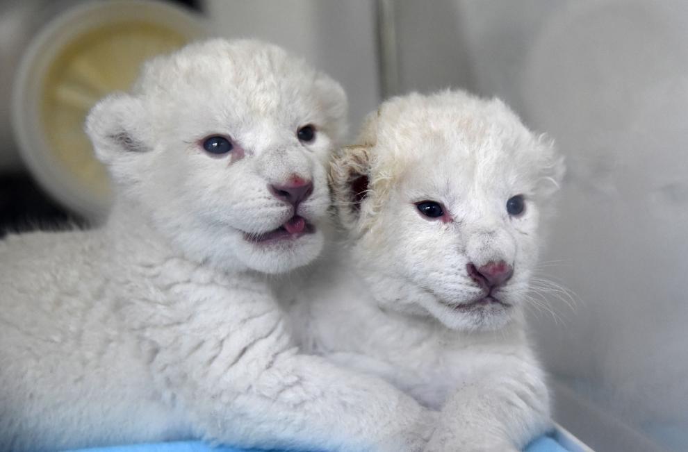 Cachorros de león blanco