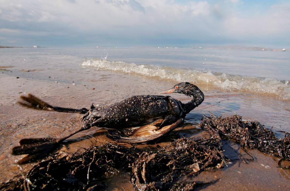 Un ave cubierta de crudo yace a orillas del Mar Negro en Kavkaz, en la región rusa de Krasnodar,el 14 de noviembre de 2007. El mar Báltico, el Caribe, el Mar del Norte
