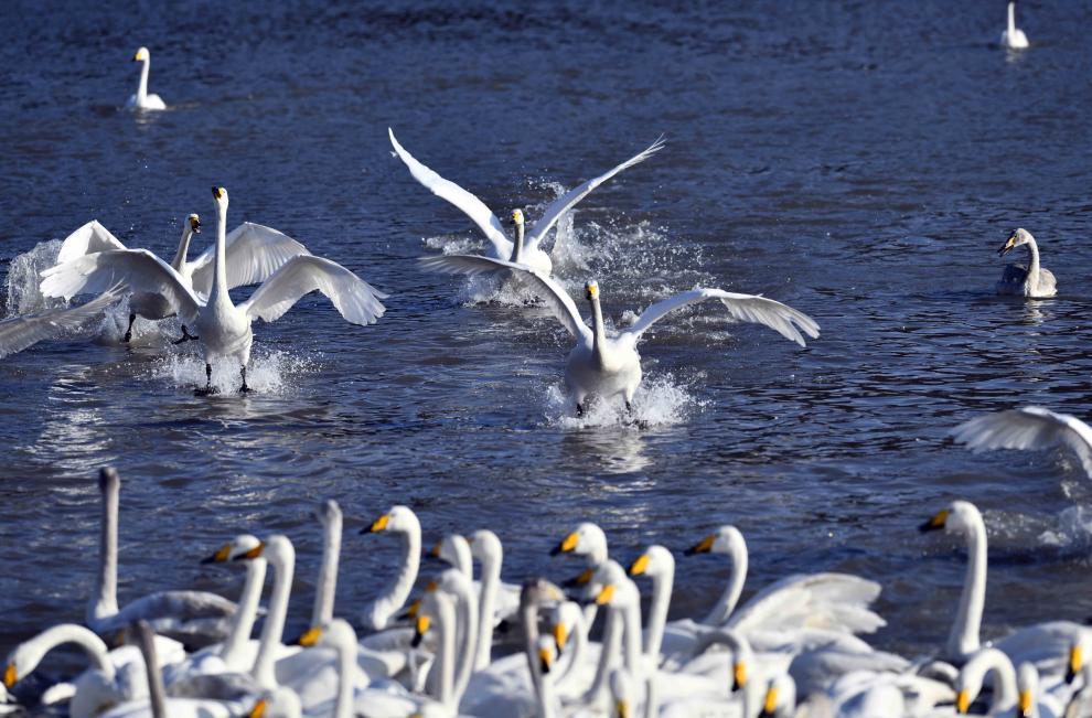 Cisnes cantores