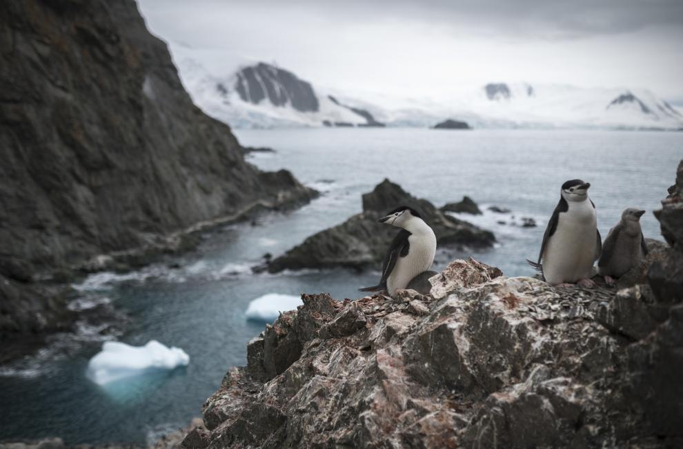 La organización ecologista denunció caídas de hasta un 77 % en algunas colonias de estos pingüinos, debido principalmente al impacto del cambio climático sobre esta especie.