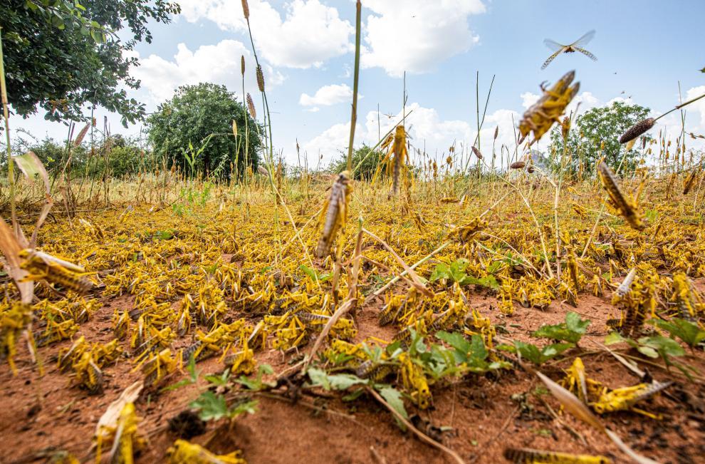 Enjambre de langostas del desierto invadiendo partes de la localidad de Mwingi en el condado de Kitui, Kenia