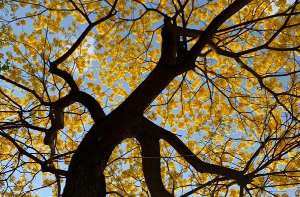 Panamá se encuentra en una crisis por el COVID-19, las autoridades han impuesto  la cuarentena para evitar ka propagación del virus, mientras un hermoso color amarillo visten e iluminan las calles por las flores de los árboles de Guayacán.